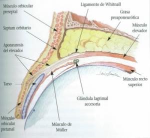 Anatomia párpado superior